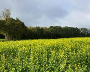 biomassa en akker_met_mosterdzaad1